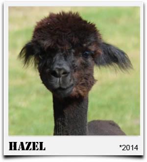 Tegelfeld Alpakas- Stute Hazel