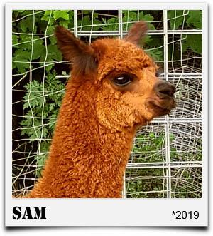 Tegelfeld Alpakas- Fohlen Sam