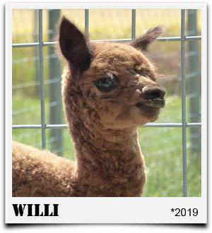 Tegelfeld Alpakas- Fohlen Willi