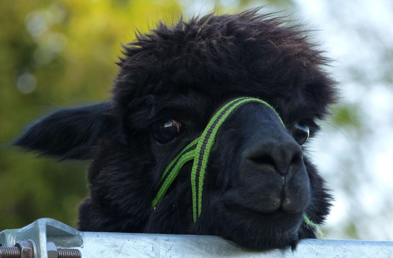 Die häufigsten Fragen zum Alpaka