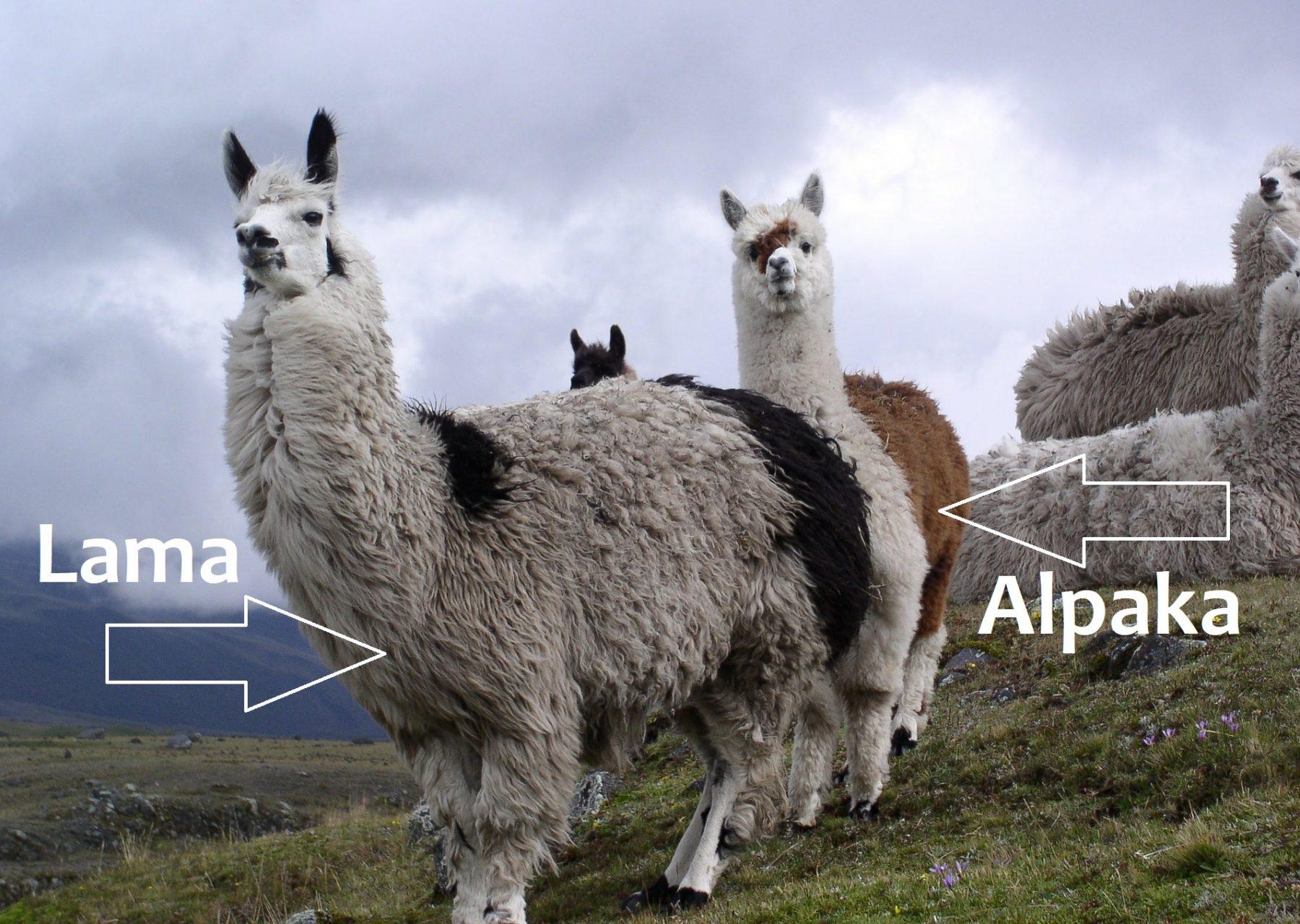 Was ist der Unterschied zwischen einem Lama und einem Alpaka?
