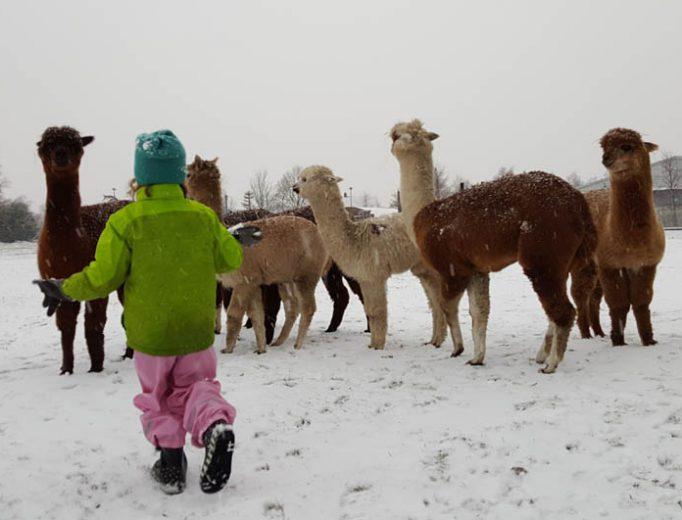 Alpaka Schneeballschlacht Dezember