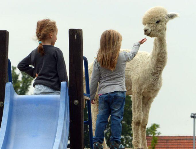 Alpaka Stute und Kinder im Juli