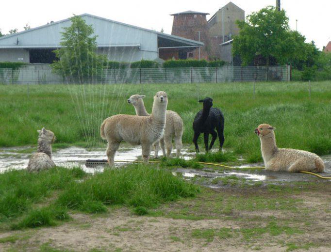 Alpaka mit Rasensprenger im Mai