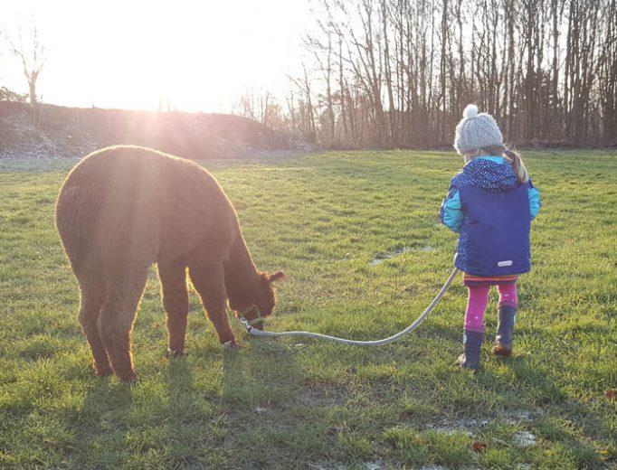 Alpakas Spaziergang mit Kind Januar