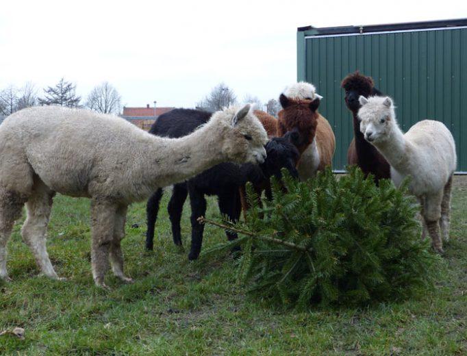 Alpakas fressen Tannenbaum Januar