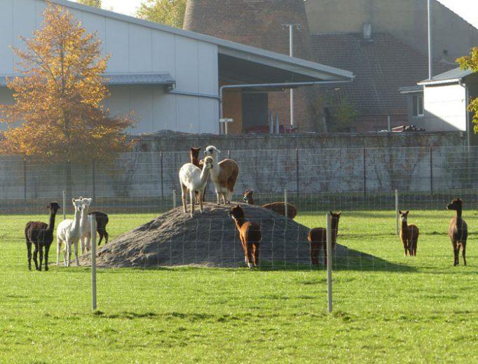Alpakas im Oktober 2