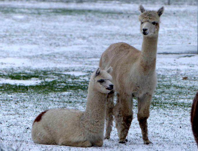 Alpakas im Schnee Dezember 2