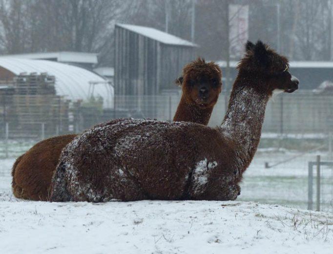 Alpakas im Schnee Dezember