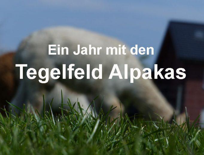 Ein Jahr mit den Tegelfeld Alpakas