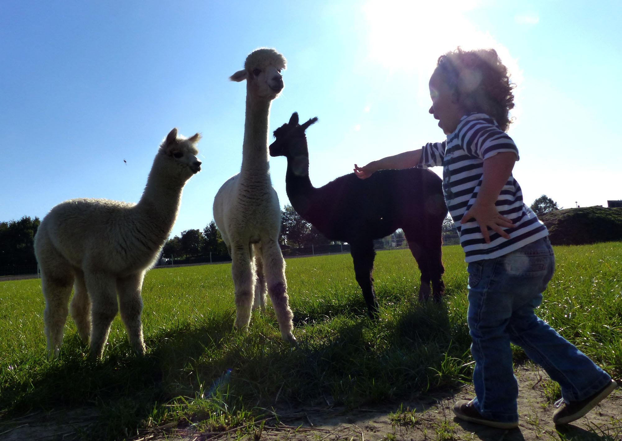 Alpakas als Familientier
