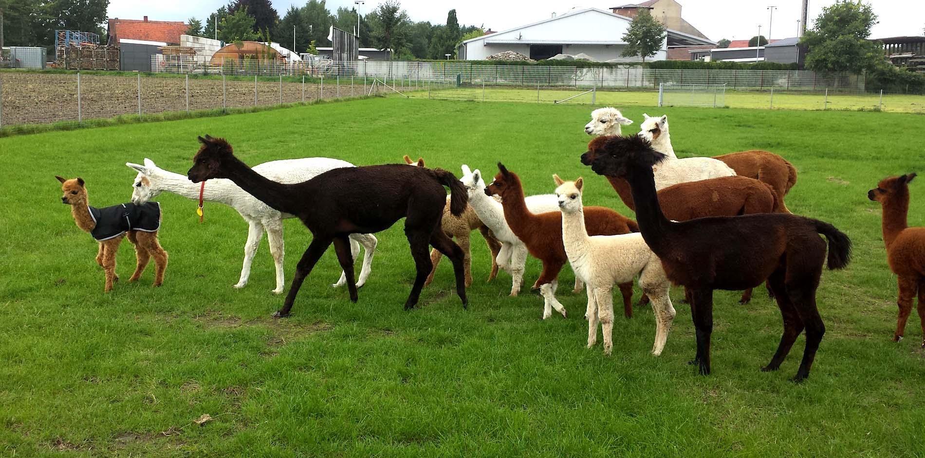 Eine bunte Herde -das Zuchtziel der Tegelfeld Alpakas