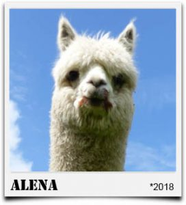 Tegelfeld Alpakas- Stute Alena