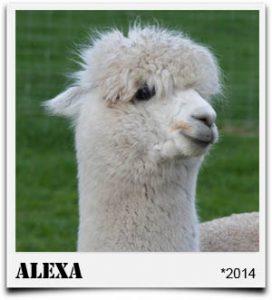 Tegelfeld Alpakas- Stute Alexa