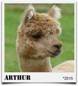 Tegelfeld Alpakas- Deckhengst Arthur