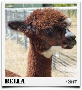 Tegelfeld Alpakas- Stute Bella
