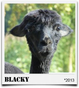 Tegelfeld Alpakas- Stute Blacky