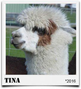 Tegelfeld Alpakas- Stute Tina