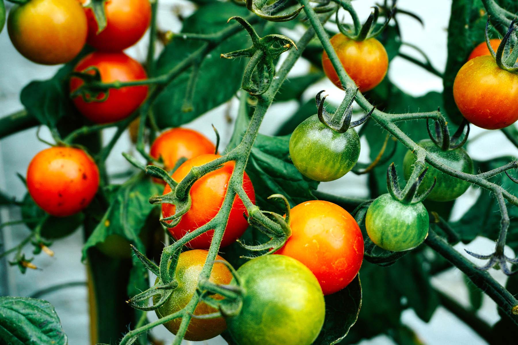 Tomaten - Photo by Dan Gold on Unsplash.jpg