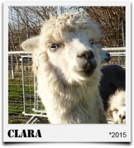 Tegelfeld Alpakas weiße Stute Clara
